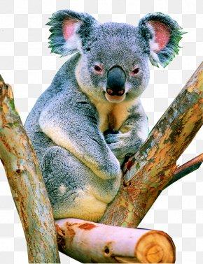 Koala Koala - Koala Herbivore Tropical Rainforest PNG