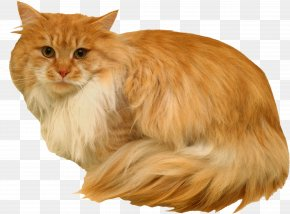 Kitten - Maine Coon Norwegian Forest Cat Whiskers Siberian Cat Cymric PNG
