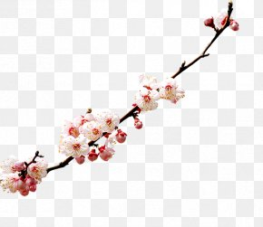 A Cherry - Cherry Blossom Watercolor Painting PNG