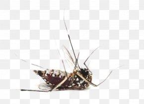 Mosquito - Zika Virus Yellow Fever Mosquito West Nile Fever Dengue Fever Chikungunya Virus Infection PNG