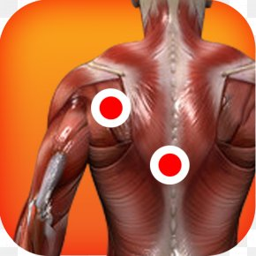 The Pleasing Muscles Of The Water - Myofascial Trigger Point Muscle Human Body Anatomy Therapy PNG