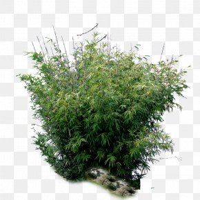 Bamboo - Bamboo Tree Plant PNG
