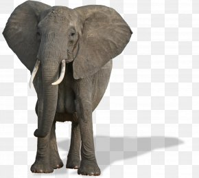 Elefant - African Bush Elephant World Elephant Day African Forest Elephant Mammal Species Of The World PNG
