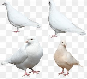 White Pigeons Image - Chicken Stock Dove Columbidae Feather Wing PNG