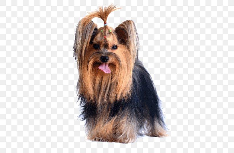 Yorkshire Terrier Australian Silky