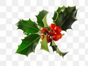 Christmas - Common Holly Stock Photography Christmas Alamy PNG