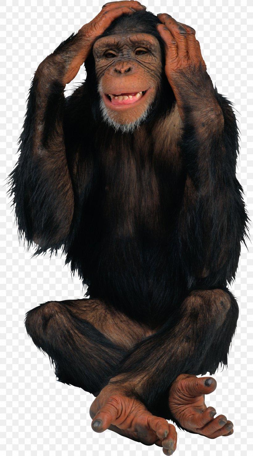 Monkey Gray Langur, PNG, 1953x3522px, Primate, Ape, Chimpanzee, Common Chimpanzee, Fur Download Free