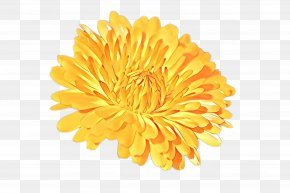 Daisy Family Tagetes - Flowers Background PNG