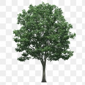 Tree Plan - Populus Nigra Tree PNG