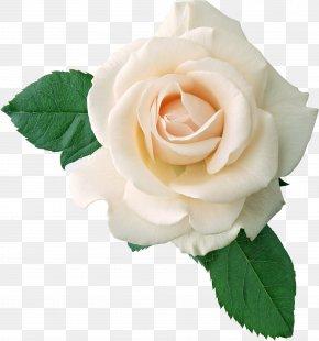 White Rose Image, Flower White Rose Picture - Rose White PNG