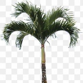 High Quality Real Palm Tree - Caryota Mitis Arecaceae Tree Plant Washingtonia PNG