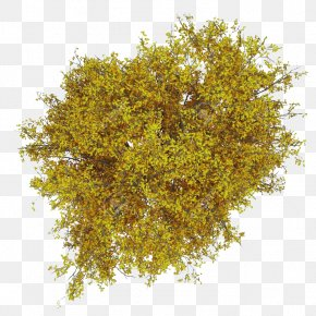 Tree Plan - Fagus Grandifolia Tree Stock Photography Ash PNG