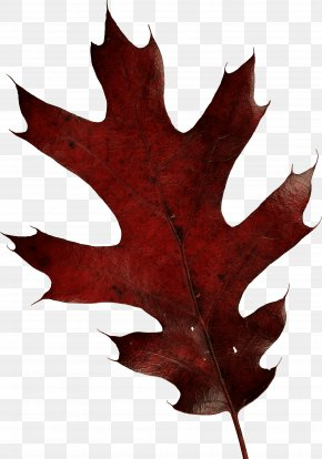 Autumn Leaf - Oak Leaf Family Dental Oak Leaf Family Dental Autumn Leaf Color PNG