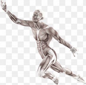 9/11 - Human Body Muscle Motion Anatomy Trains: Myofascial Meridians For Manual And Movement Therapists Muscular System PNG
