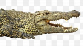 Crocodile - Nile Crocodile Alligator PNG