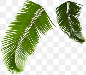 Green Coconut Leaves - Arecaceae Leaf Frond Coconut PNG