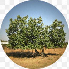 Albero Della Vita - Plane Trees Vegetation Family Tree Table PNG