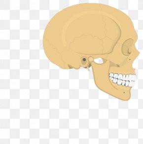 Skeletal Muscle - Skull Parietal Bone Temporal Line Human Skeleton Anatomy PNG