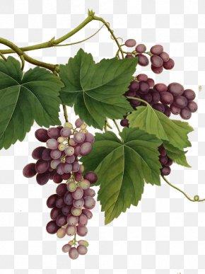 Painted A Large Grape Vine Realism - Red Wine Common Grape Vine Vintage PNG