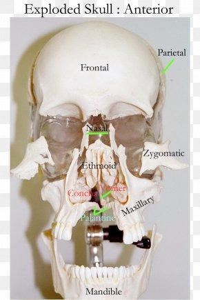 Skull - Skull Human Skeleton Bone Axial Skeleton Frontal Sinus PNG