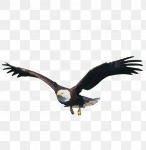 Eagle - Flight Bird Eagle PNG