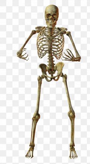 Skeleton - Human Skeleton Bone Anatomy PNG