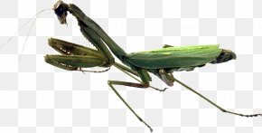Insect - Insect European Mantis Orchid Mantis Grasshopper PNG