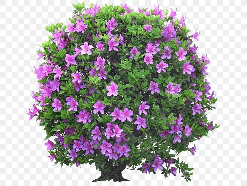 Flower Garden Shrub Ornamental Plant Tree Png 669x620px Garden Annual Plant Artikel Aubretia Flower Download Free