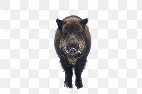 Wild Boar - Animal Gratis Euclidean Vector PNG