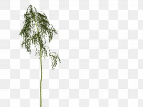 Bamboo - Bamboo Woody Plant Tree Plant Stem PNG