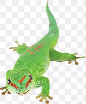 Lizard - Lizard Reptile Chameleons PNG