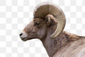 Bighorn Sheep - Bighorn River Bighorn Sheep Goat PNG