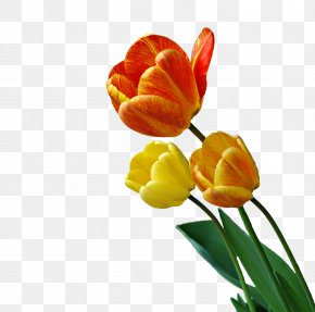 Magnet - Tulip Flower Animation Photography PNG