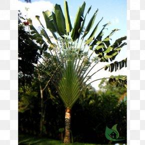 Tree - Asian Palmyra Palm Ravenala Madagascariensis Arecaceae Tree Sabal Palm PNG