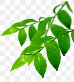 Leaf - Branch Leaf Odor PNG