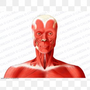 Muscle Head And Neck Anatomy Anterior Triangle Of The Neck Human Body PNG