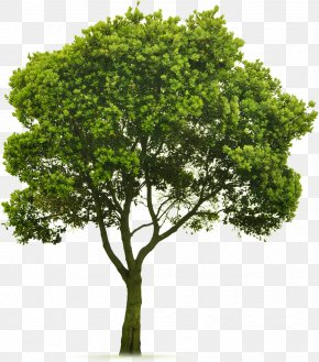 Trees - Tree Topping Landscaping Lawn Clip Art PNG