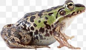 Frog Image - Frog PNG