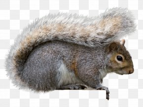 Squirrel - Eastern Gray Squirrel Gray Wolf Rodent Fox Squirrel PNG