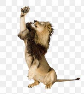 Lion - Lion Photography Tiger PNG