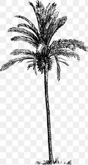 Date Palm - Asian Palmyra Palm Babassu Arecaceae Date Palm Tree PNG