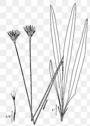 Drawing - Twig Tree Leaf Plant Stem Grasses PNG