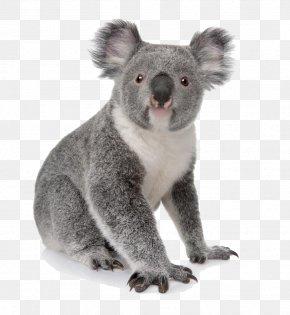 Koala Daze - Koala Australia Bear Cuteness Animal PNG