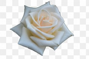 Blooming White Roses Material - Beach Rose Flower Rosa Chinensis PNG