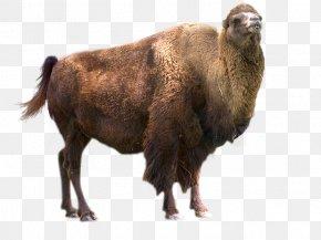 Park - Yellowstone Caldera Badlands National Park Yellowstone Park Bison Herd Plains Bison PNG