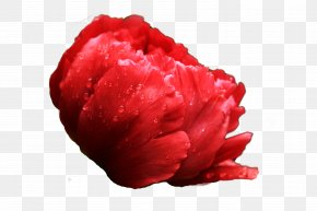 National Flower Peony - Luoyang Heze Moutan Peony Floral Emblem PNG