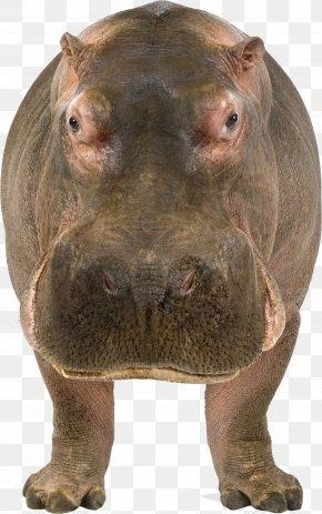 Hippo - Maasai Mara Hippopotamus Stock Photography Illustration PNG