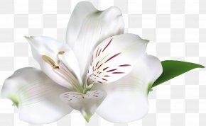 White Alstroemeria Clip Art Image - White Rose Amaryllis Belladonna Clip Art PNG