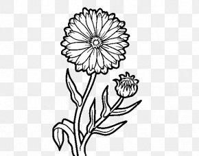 Marigold - Calendula Officinalis Drawing Marigold PNG