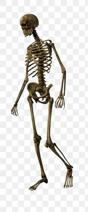 Skeleton - Human Skeleton Bone Skull Joint PNG